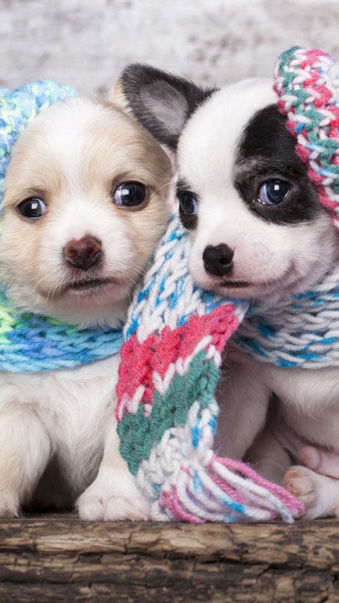 Scarf Puppy Dog
