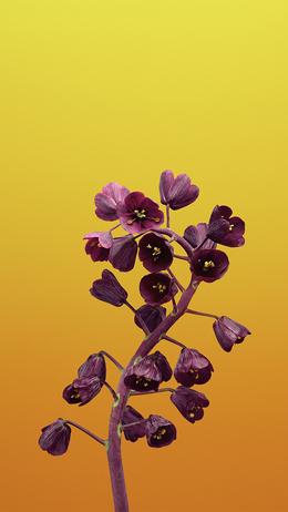 Apple iphonex flower illustration art HD iPhone Wallpaper