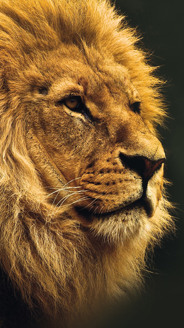 National geographic, nature animal lion yellow