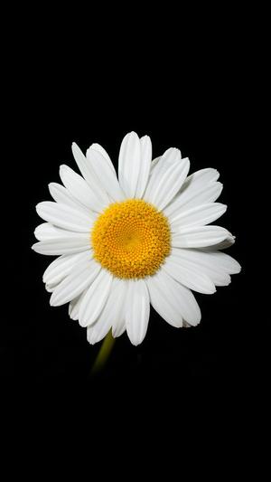daisy-flower-dark-nature