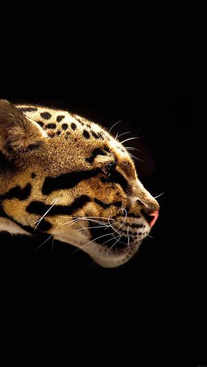 wild-cat-b-animal